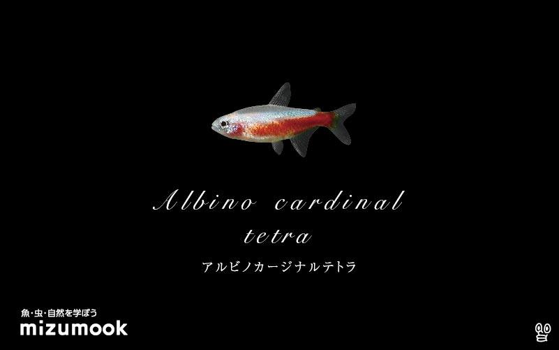 アルビノカージナルテトラの飼い方/混泳・大きさ・繁殖・種類