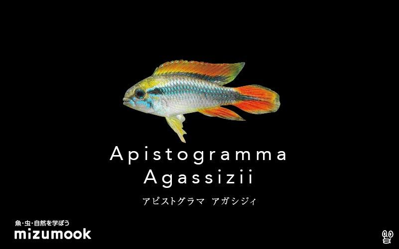 アピストグラマ アガシジィの飼い方/飼育・繁殖・混泳・病気