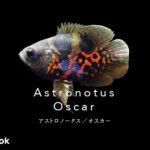 アストロノートゥス(オスカー)