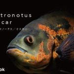 オスカー・アストロノータスの種類/飼い方・飼育・繁殖・混泳・病気