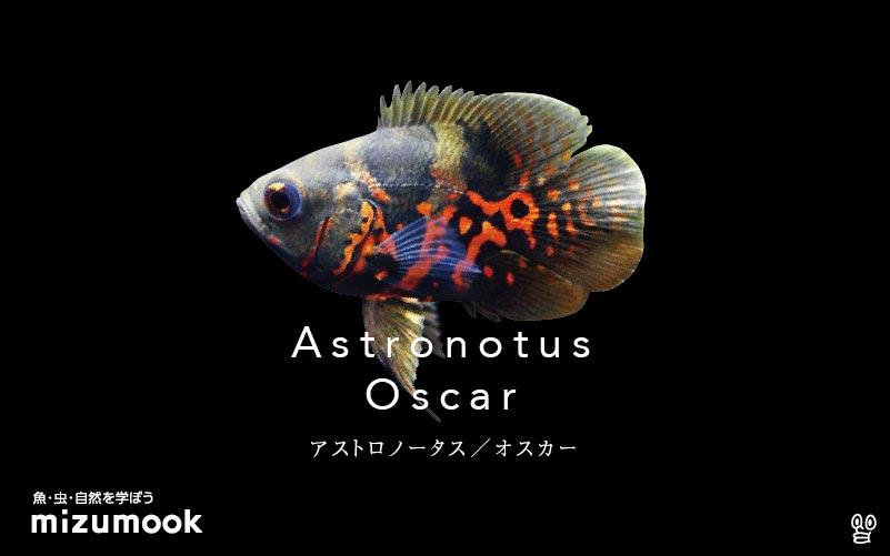 アストロノートゥス(アストロノータス)/オスカーの飼い方/飼育・繁殖・混泳・病気