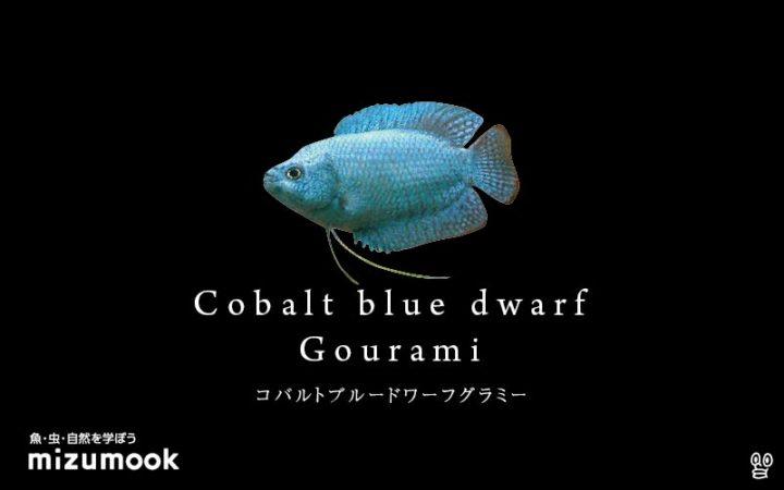 anabas-cobalt-blue-dwarf-gourami