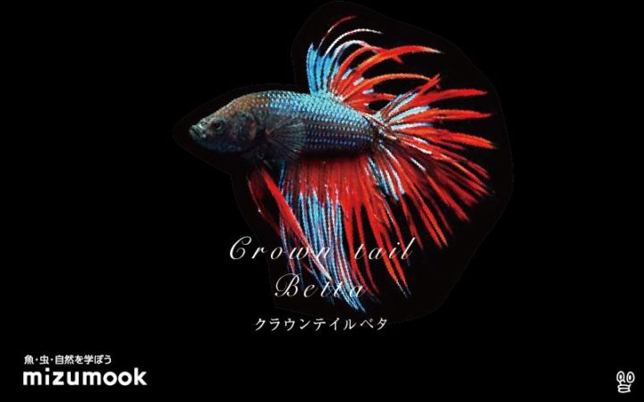anabas-crown-tail-betta