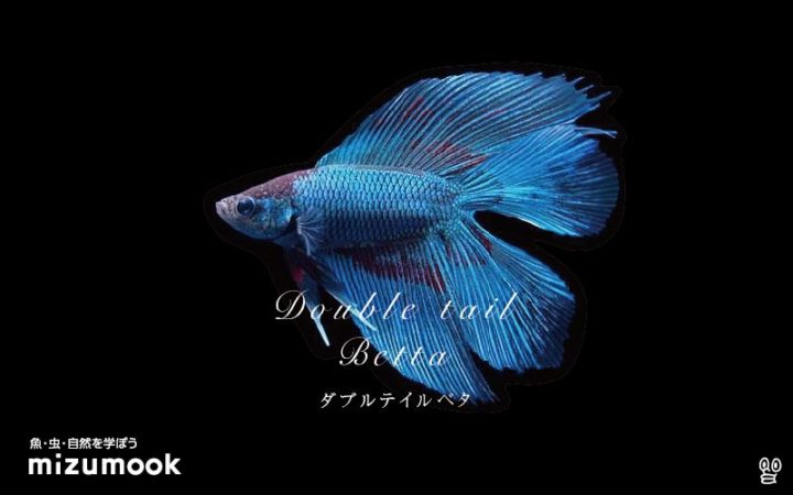 anabas-double-tail-betta