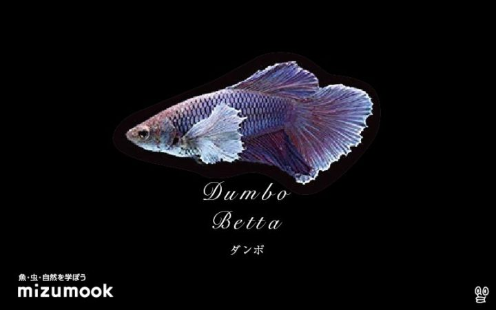 anabas-dumbo-betta