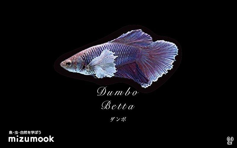 ダンボ/エレファントイヤーベタの飼育/混泳・繁殖・病気・種類