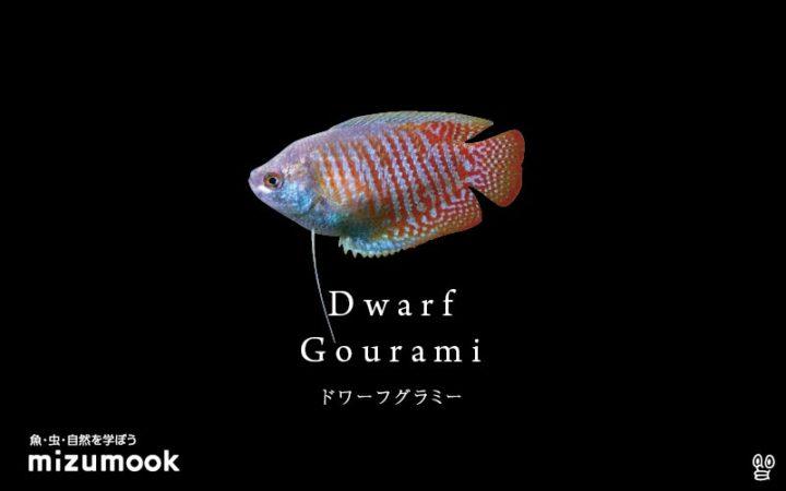 anabas-dwarf-gourami