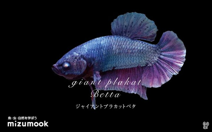 anabas-giant-plakat-betta