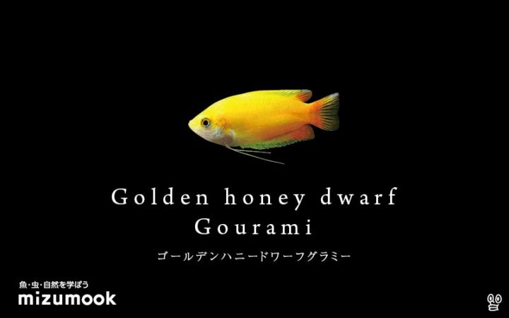 anabas-golden-honey-dwarf-gourami
