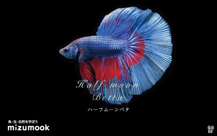 anabas-half-moon-betta