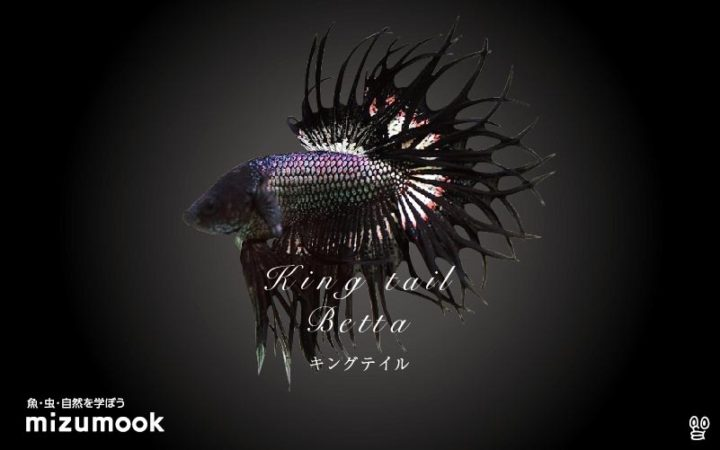 anabas-king-tail-betta