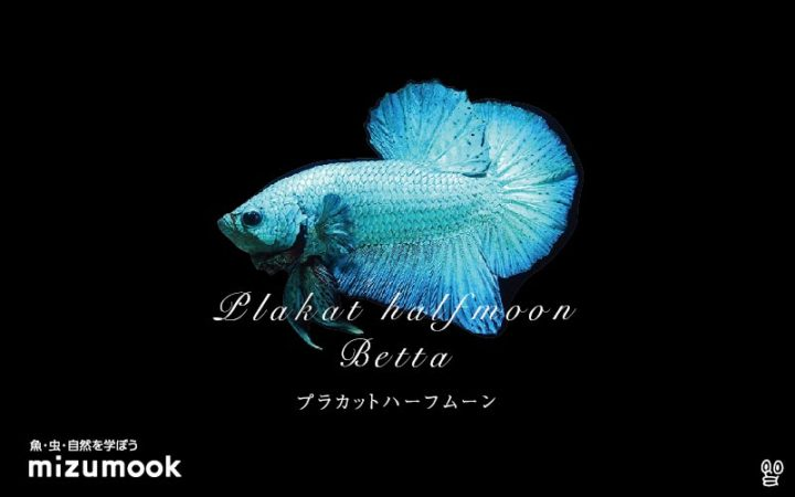 anabas-plakat-half-moon-betta