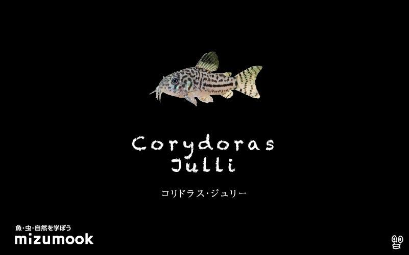 コリドラス ジュリーの飼い方/飼育・混泳・大きさ・繁殖・種類