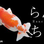らんちゅうの飼い方/金魚・飼育・えさ・病気・種類