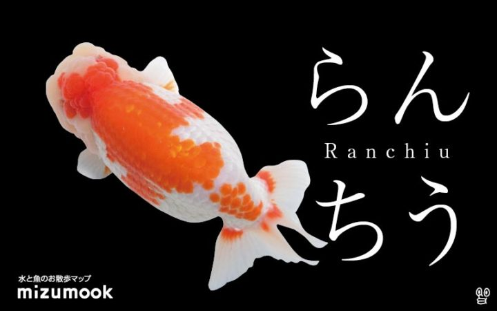 goldfish-ranchiu