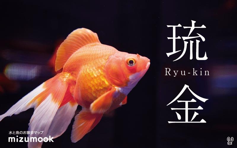 琉金の飼い方/金魚・飼育・えさ・病気・種類