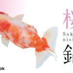 桜錦の飼い方/金魚・飼育・えさ・病気・種類