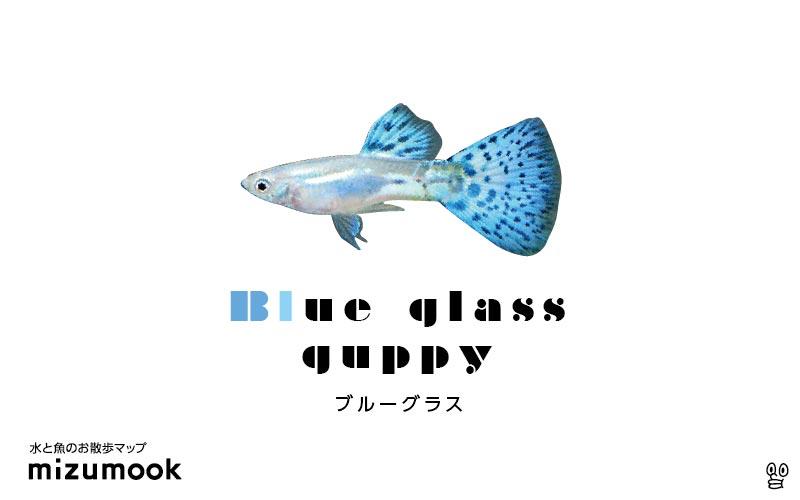 ブルーグラスグッピーの飼育/混泳・繁殖・病気・種類