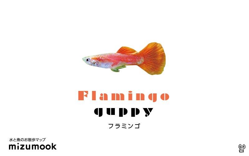 フラミンゴグッピーの飼育/混泳・繁殖・病気・種類