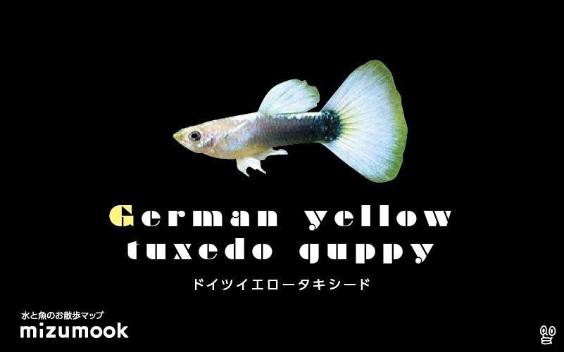 ドイツイエロータキシードグッピーの飼育/混泳・繁殖・病気・種類
