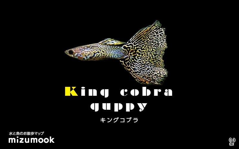 キングコブラグッピーの飼育/混泳・繁殖・病気・種類