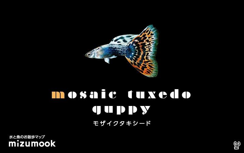 モザイクタキシードグッピーの飼育/混泳・繁殖・病気・種類
