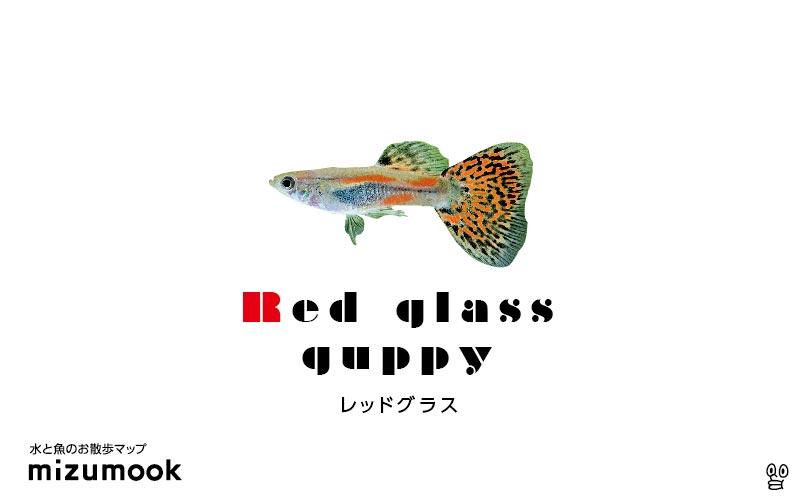 レッドグラスグッピーの飼育/混泳・繁殖・病気・種類