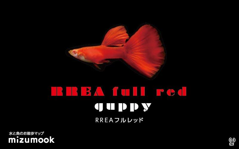 RREAフルレッドグッピーの飼育/混泳・繁殖・病気・種類