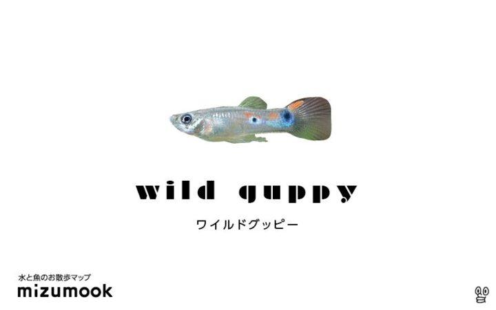 guppy-wild-guppy
