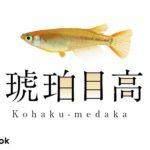 琥珀メダカの飼い方/飼育・寿命・産卵・病気・餌・種類
