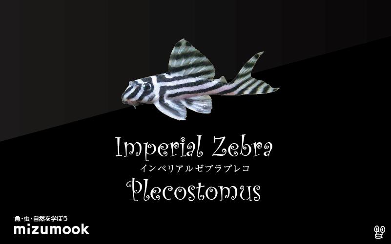 インペリアル ゼブラ プレコの飼い方/飼育・混泳・繁殖