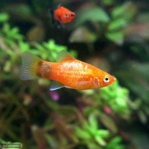 Platyfish