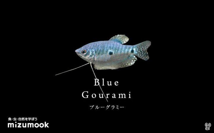 anabas-blue-gourami