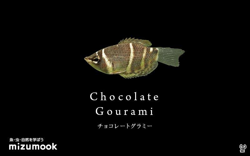 チョコレートグラミーの飼い方/飼育・混泳・繁殖・病気