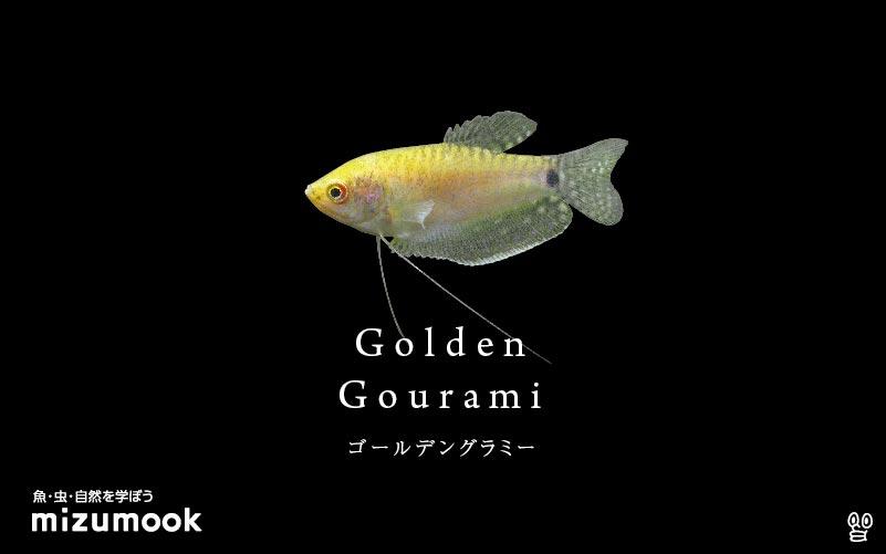 ゴールデングラミーの飼い方/飼育・混泳・繁殖・病気
