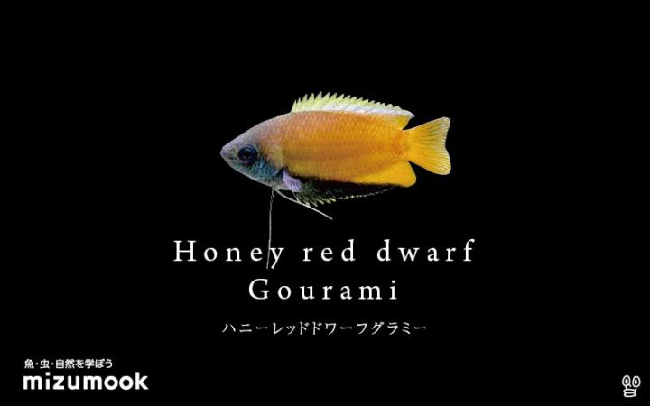 anabas-honey-red-dwarf-gourami