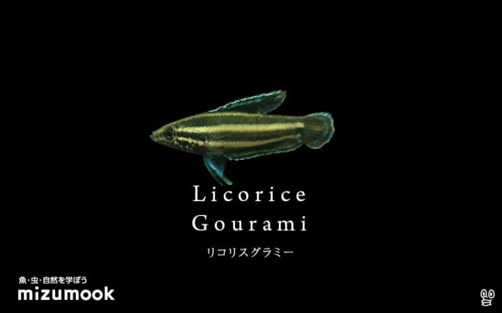 anabas-licorice-gourami