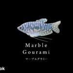 マーブルグラミーの飼い方/飼育・混泳・繁殖・病気