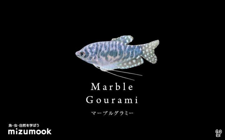 anabas-marble-gourami