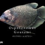 オスフロネームグラミーの飼い方/飼育・混泳・繁殖・病気