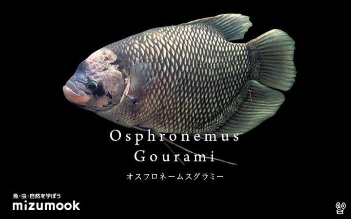 anabas-osphronemus-gourami