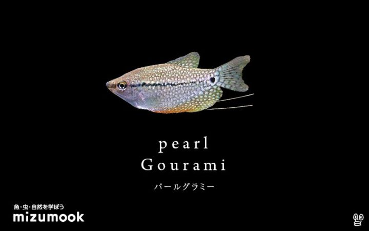 anabas-pearl-gourami