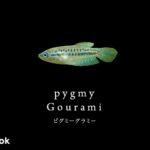 ピグミーグラミーの飼い方/飼育・混泳・繁殖・病気