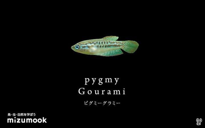 anabas-pygmy-gourami