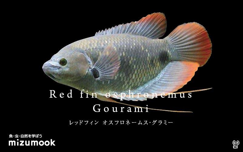 レッドフィンオスフロネームグラミーの飼い方/飼育・混泳・繁殖・病気