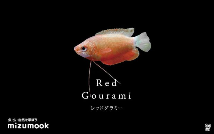 anabas-red-gourami