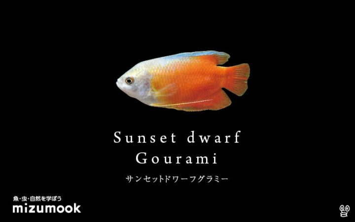 anabas_sunset-gourami