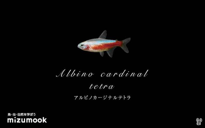 characin_albino-cardinal-tetra