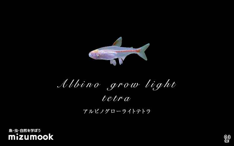 アルビノグローライトテトラの飼い方/混泳・大きさ・繁殖・種類