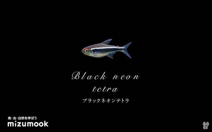 characin_black-neon-tetra